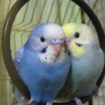 Два смешных волнистых попугайчика