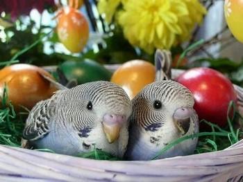 Два волнистых попугайчика сидят в гнезде