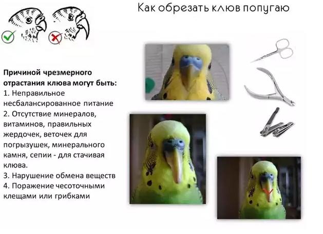 Как подстричь когти волнистому попугаю в домашних условиях