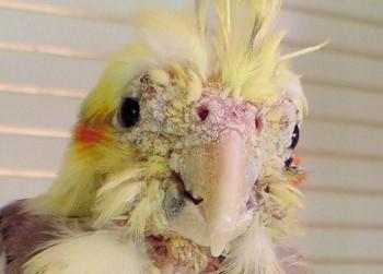 Клещи у волнистых попугаев