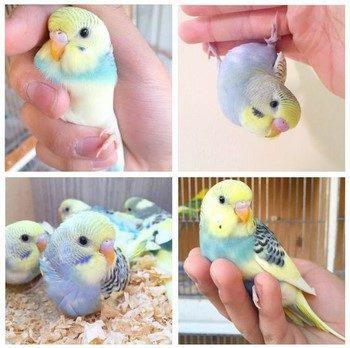 Коллаж с волнистым попугаем