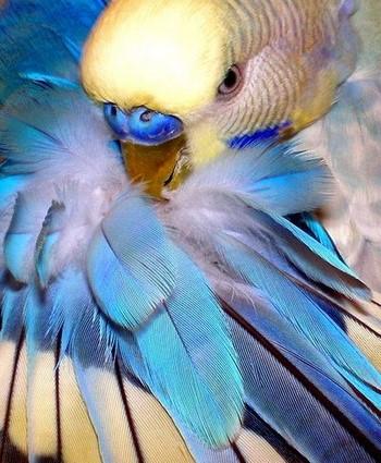 Красивые перья волнистого попугая