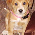 Маленький рыжий щенок в розовом ошейнике
