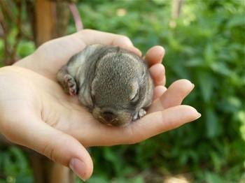 Маленький щенок нутрии