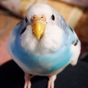 Прикольный волнистый попугайчик