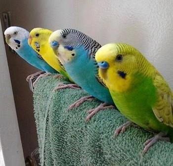 Ряд из четырех волнистых попугайчиков
