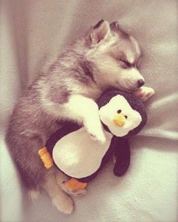 Щенок хаски спит с пингвином