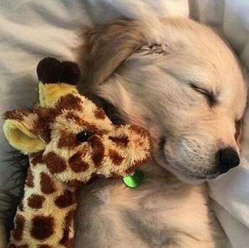 Щенок спит с игрушкой жирафа
