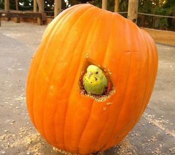 Смешной попугайчик в тыкве