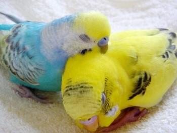 Волнистые попугаи мило спят