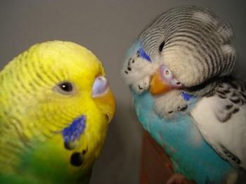 Волнистые попугайчики смотрят друг на друга