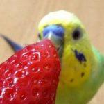 Волнистый попугай хочет клубнику