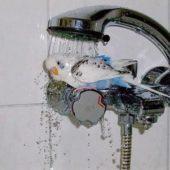 Волнистый попугай купается под душем