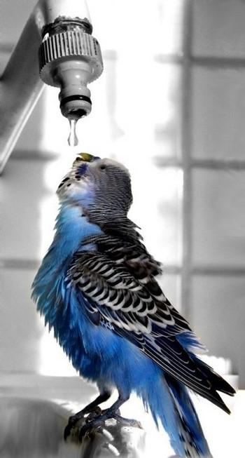 Волнистый попугай пьет из-под крана