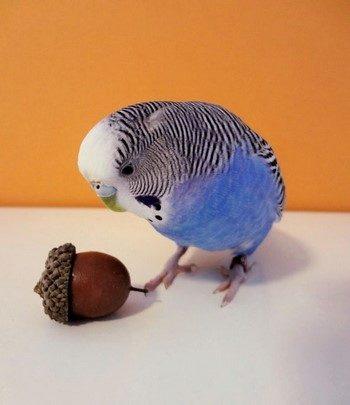 Волнистый попугай смотрит на желудь