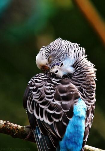 Волнистый попугайчик моется