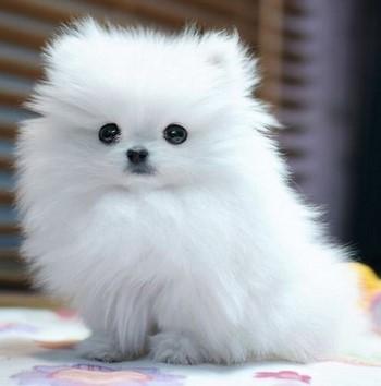 Белый щенок шитцу