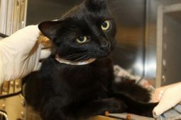 Черная кошка на столе у врача
