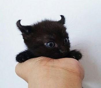 Черный котенок с ушками дьяволенка