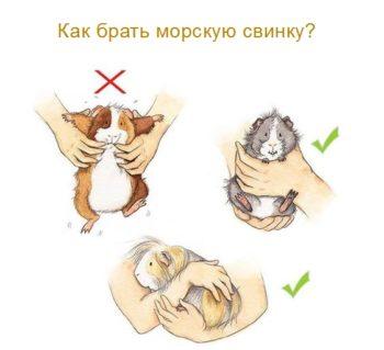 Как правильно брать морскую свинку на руки