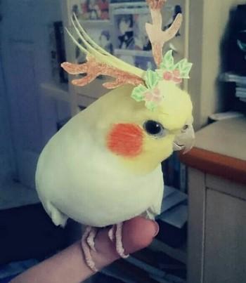 Корелла с рожками на голове