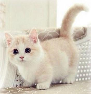 Красивая персиковая кошка