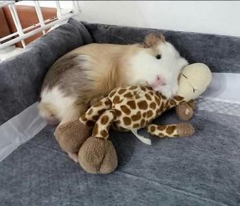 Морская свинка обнимается с мягкой игрушкой