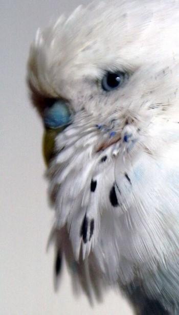 Очень красивое фото волнистого попугая