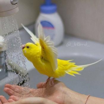Смешной желтый попугай плещется в душе