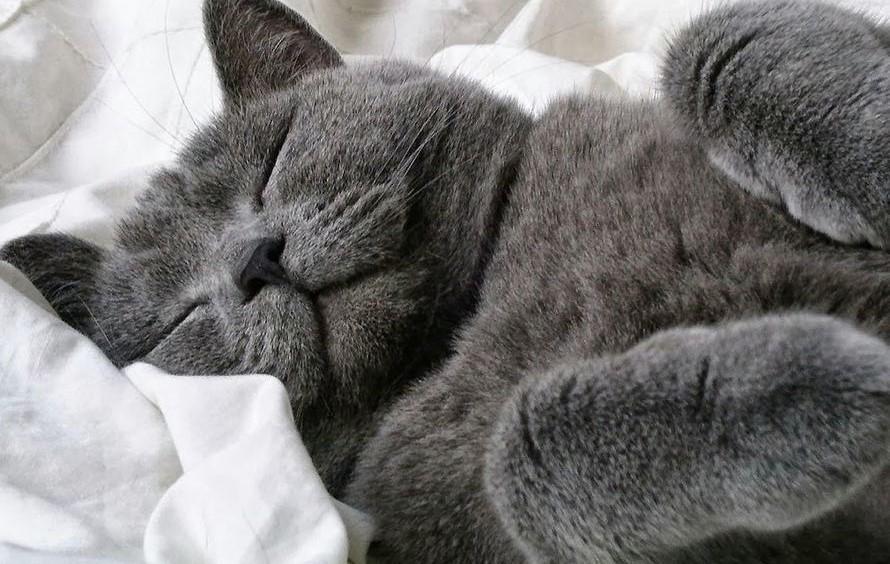 Спящий голубой британский кот