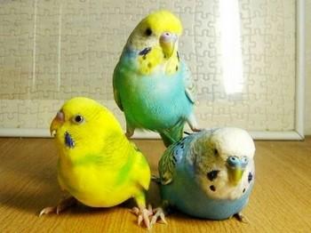 Три прикольных волнистых попугая