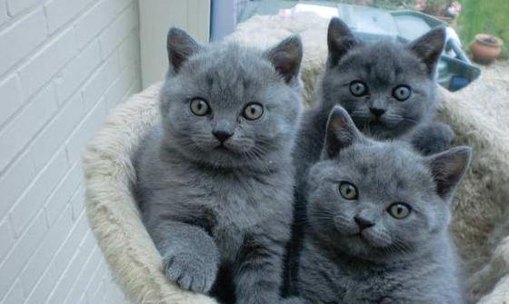 Три серых британских котенка
