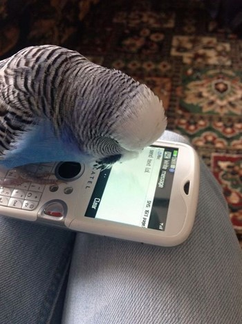 Волнистый попугай смотрит в телефон