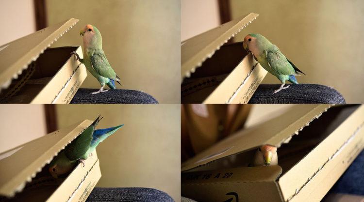 Волнистый попугайчик прячется в коробку