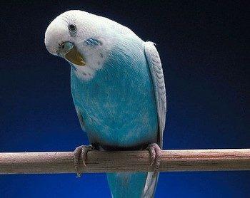 Волнистый попугайчик смешно смотрит