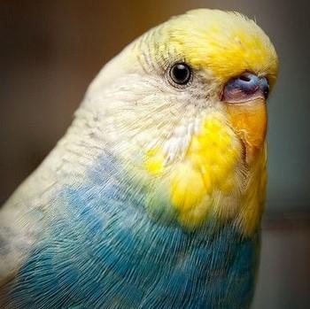Яркий волнистый попугай