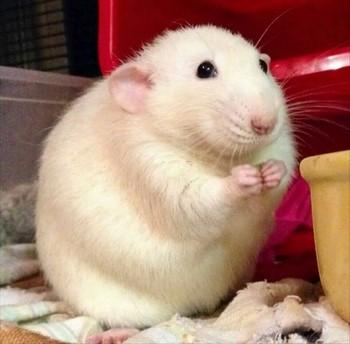 Белая толстая крыса милая