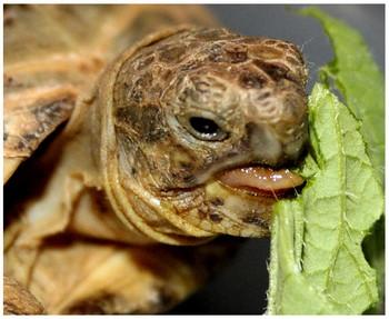 Черепашка ест салат
