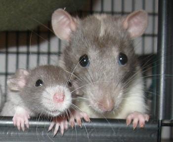 Две смешные серые крысы