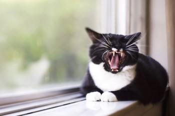 Кот орет на подоконнике