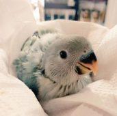 Маленький попугайчик