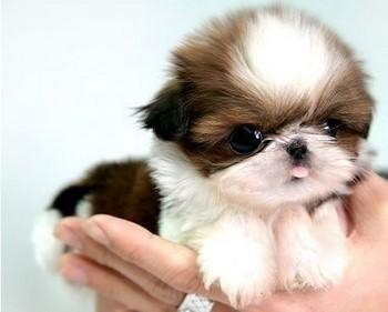 Смешной маленький щенок шитцу