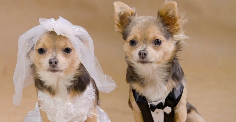 Собаки жених и невеста