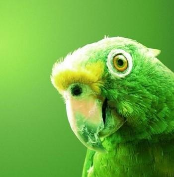 Зеленый амазон попугай