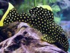 Черный анциструс с желтым горошком