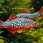 Две красноватые рыбки данио