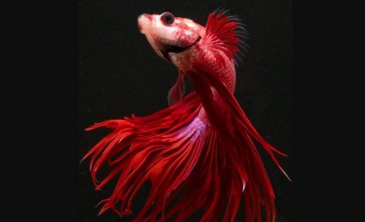 Красный рыбка петушок