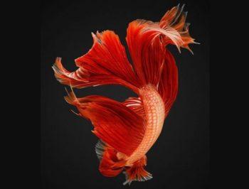 Полет аквариумной рыбки петушка