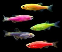 Разноцветные рыбки данио глофиш