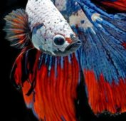Разноцветный рыбка петушок